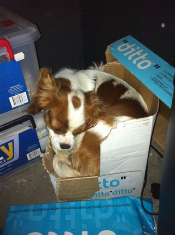 perro muerde caja para hacerla camita