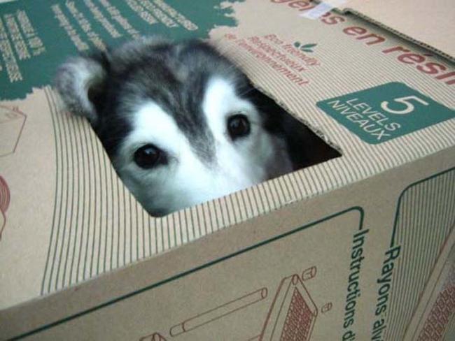 perro dentro de una caja simulando ser gato