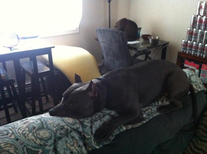 pitbull acostado en la orilla del sillon