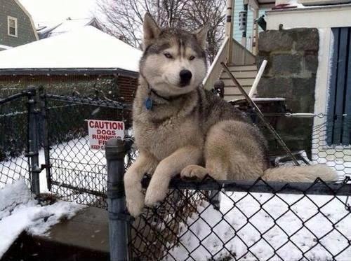 perro husky arriba del barandal como gato