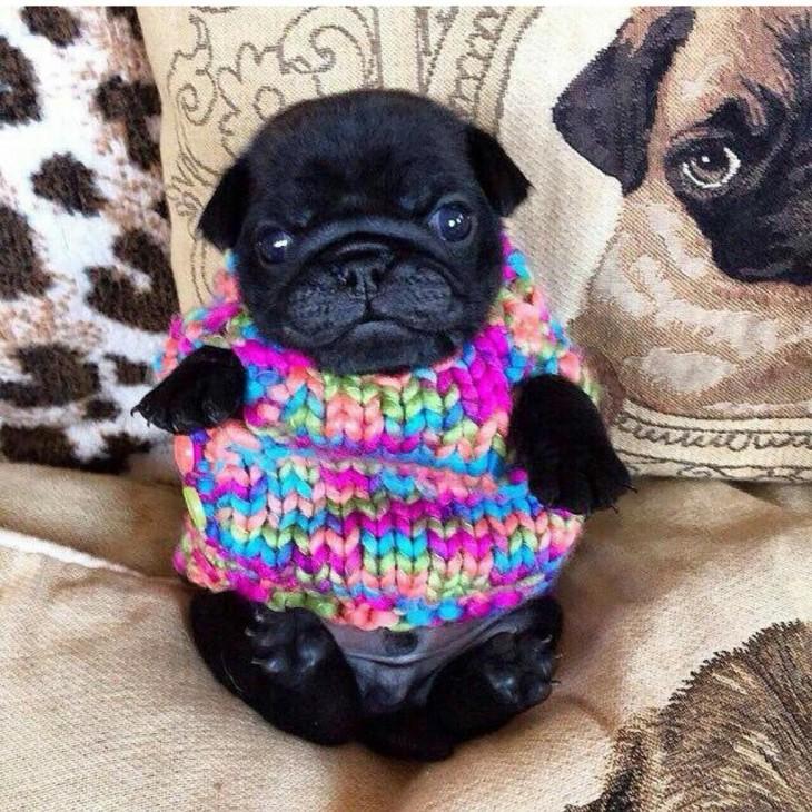 pug cachorro con un suéter de estambre