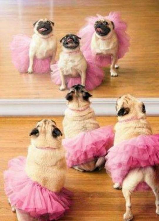 tres hembras pug con su tutu rosa