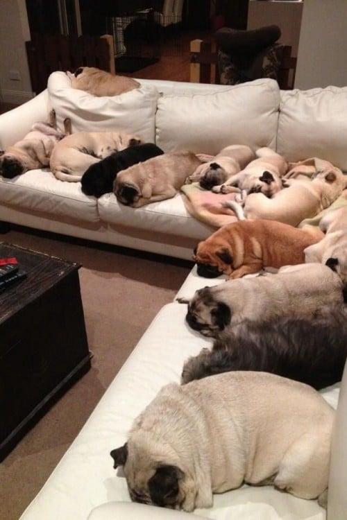 Pugs dormidos en la sala