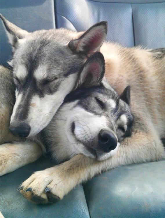 Huskies abrazado en la parte posterior de un carro