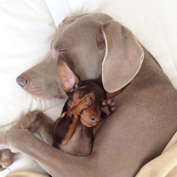 perro grande gris abraza a chihuaha cachorro