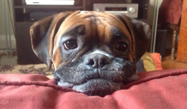 perra boxer  ya mayor