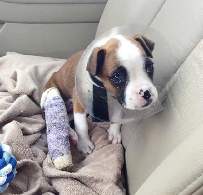 boxer lesonado en el coche de su propietario