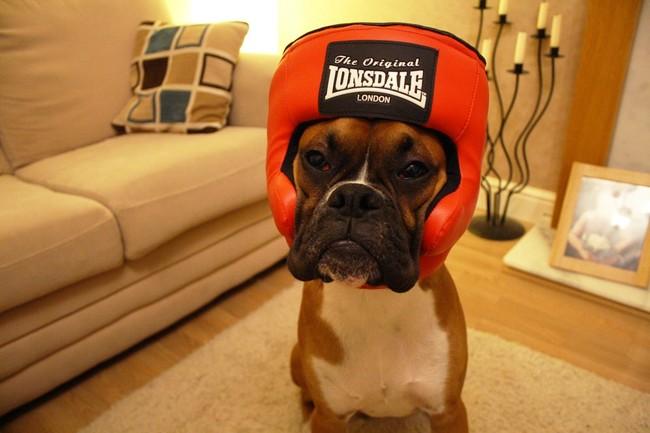perro boxer  disfrazado de boxeador