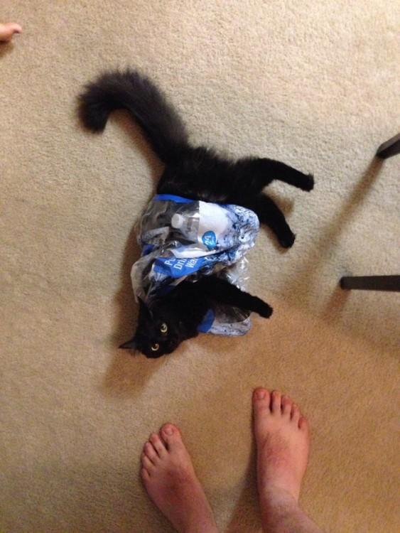 gato atorado en una botella de agua