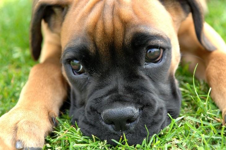 perro boxer con cara bonita
