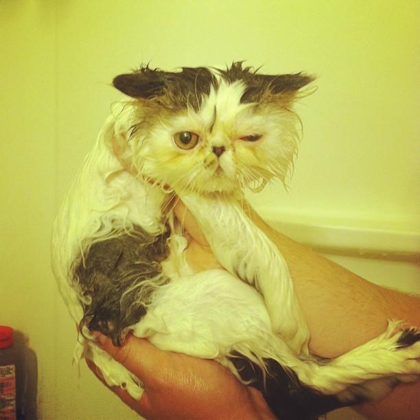 gato enojado por que lo bañaron