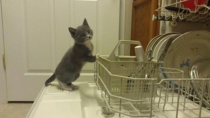 gato haciendo travesuras en la cocina