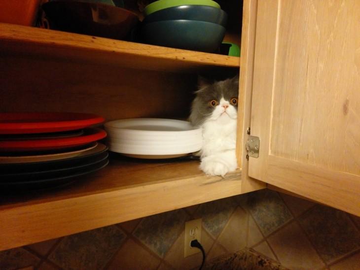 gato escondido en la alacena de la cocina sobre los platros