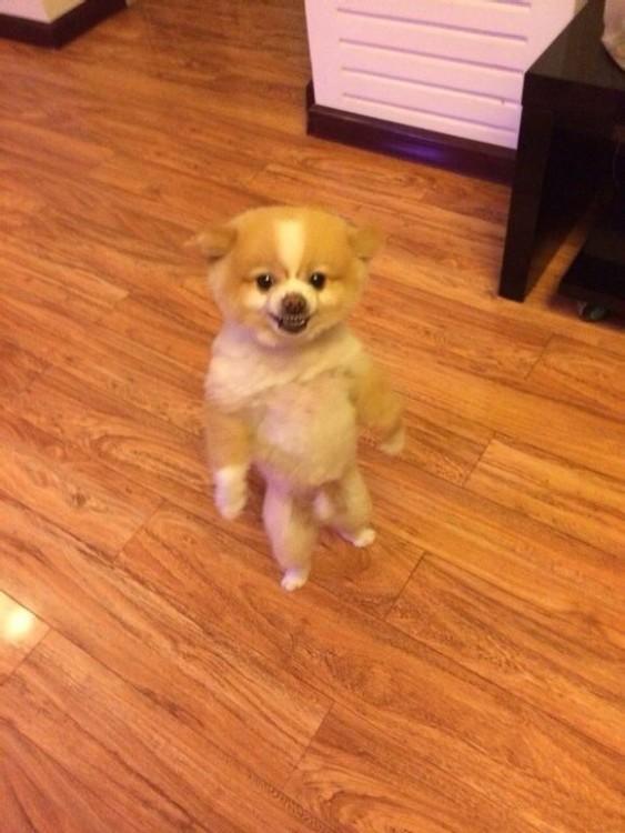 perro de pie en dos patitas