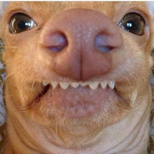 chihuahua con cara de pervertido