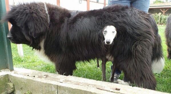 dalmata debajo de mastin tibetano