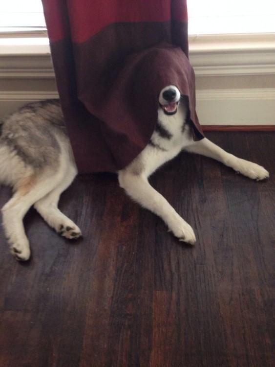 perro con la cortina en la cara