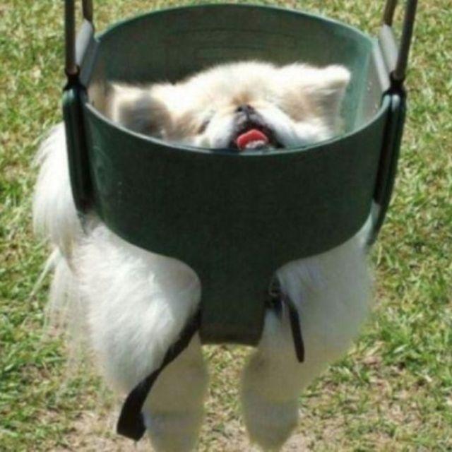 perro atorado en el columpio