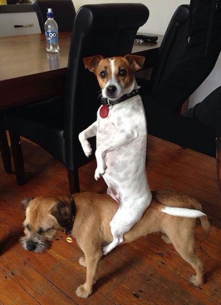 perro montado de caballito con otro perro