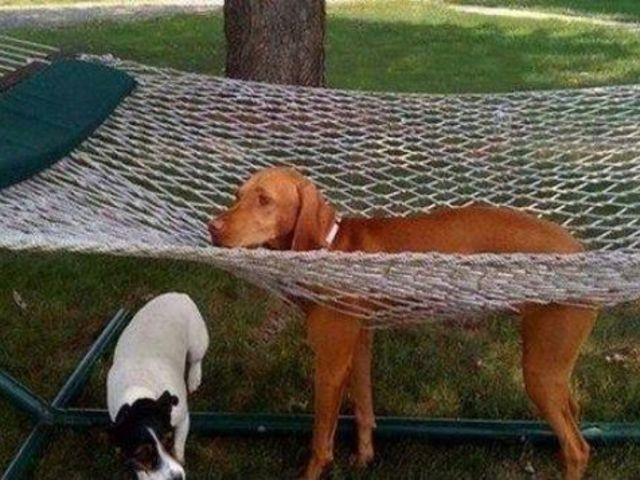 perro atorado en la hamaca