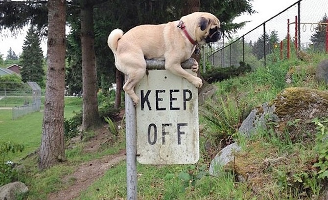 pug sobre letrero de keep off