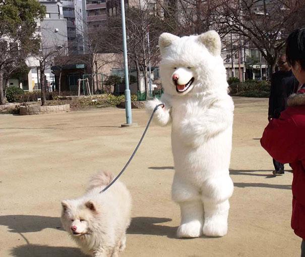dueño se viste con botarga de samoyedo para pasear a su samoyedo