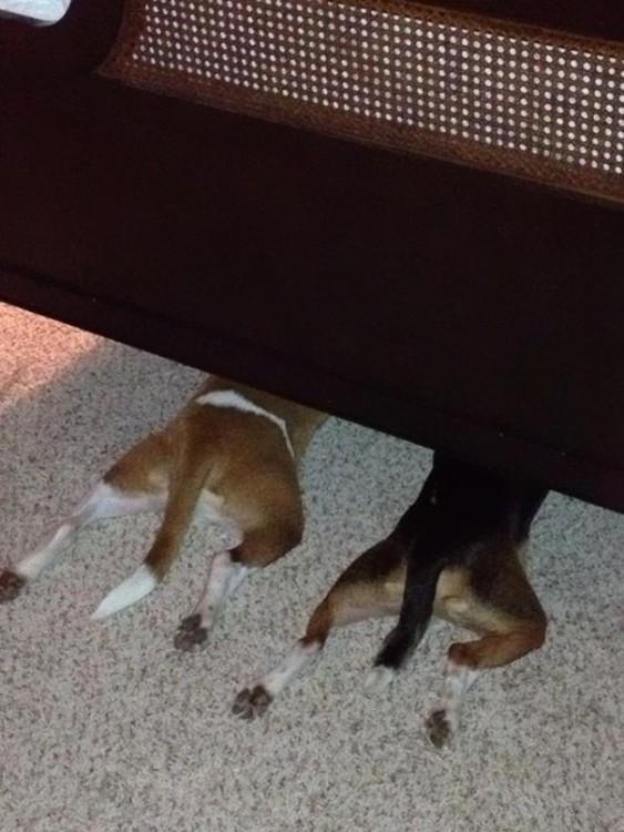 perros bajo la cama