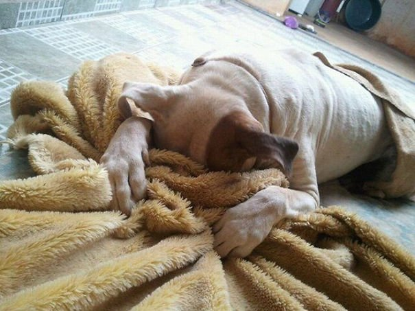 perro tapandose la cara con una cobija