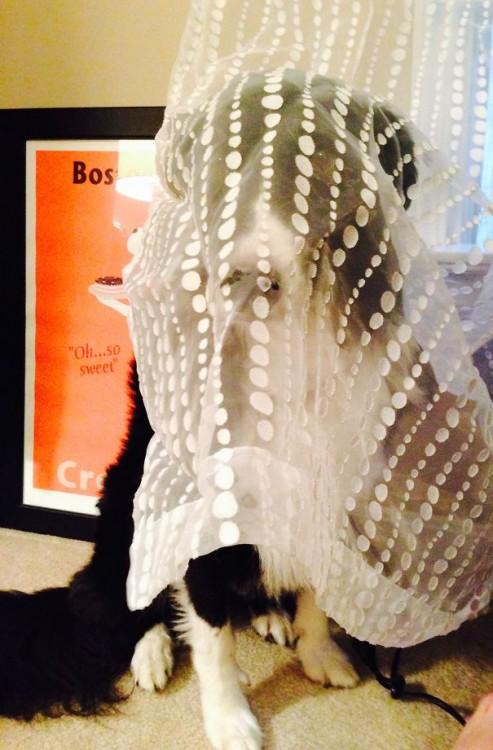perro enredado en cortinas transparentes