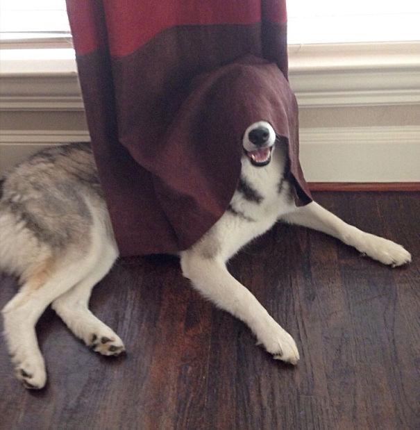perro escondido en cortinas guinda