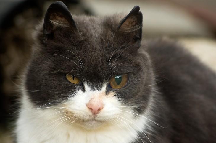 gato con protesis ocular