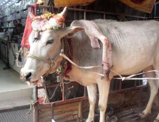 vaca sagrada de 5 patas en india