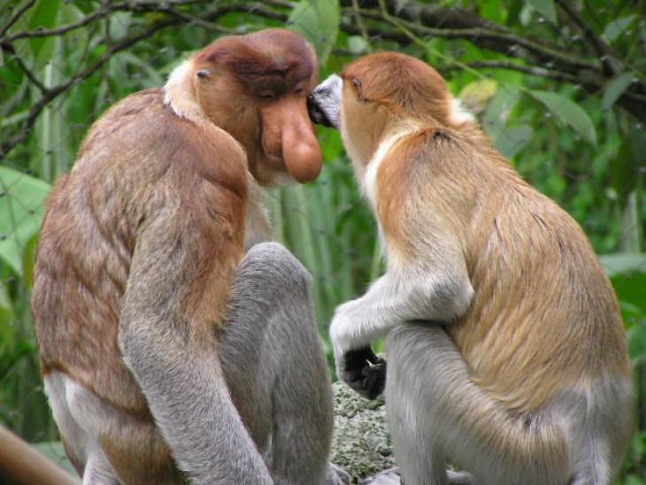 simio babuino con pronunciación nasal aguda