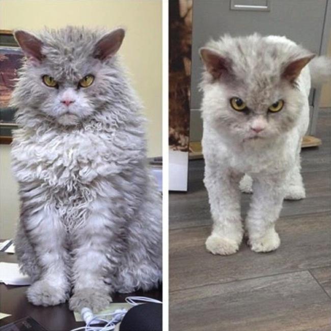 Antes y después del corte de pelo de Alberto el gato