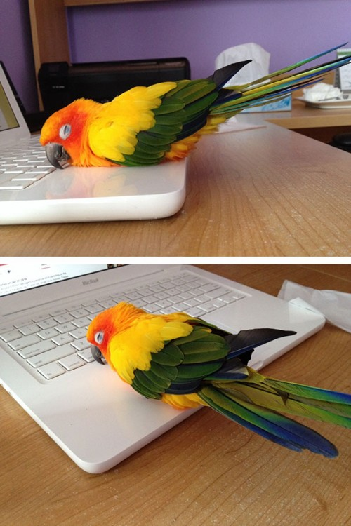 Cotorro de colores acostado en la superficie de una laptop