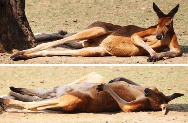 Canguro acostado en el suelo tomando el sol