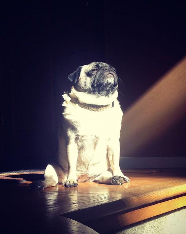 Un perro Pug sentado en el piso recibiendo la luz directa del sol