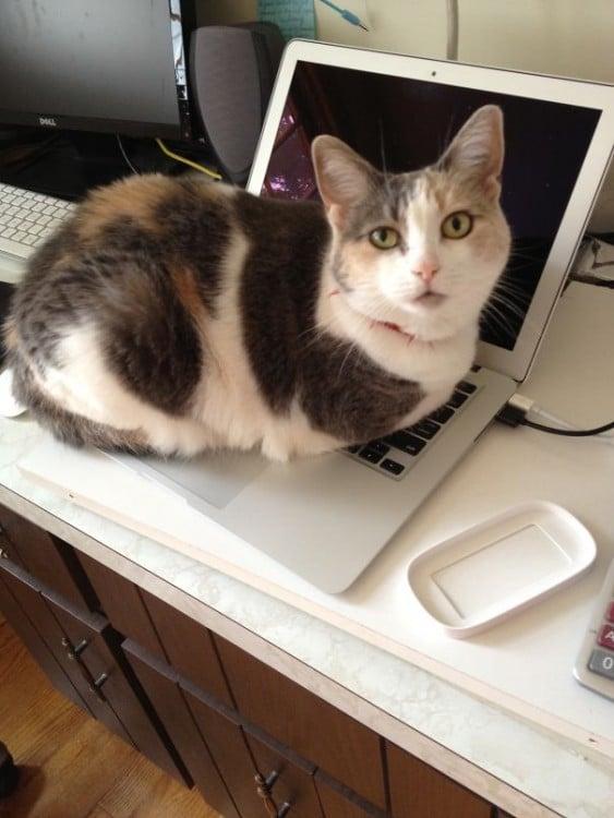 Gato acostado sobre el teclado de una laptop