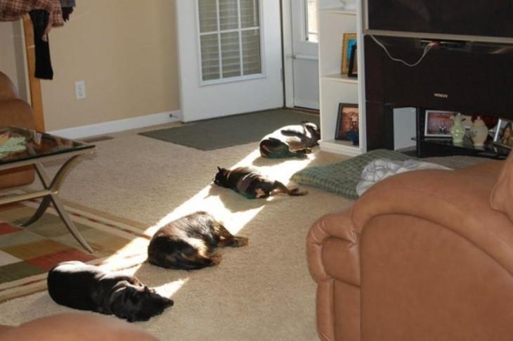 Perros en una fila acostados bajo la luz del sol