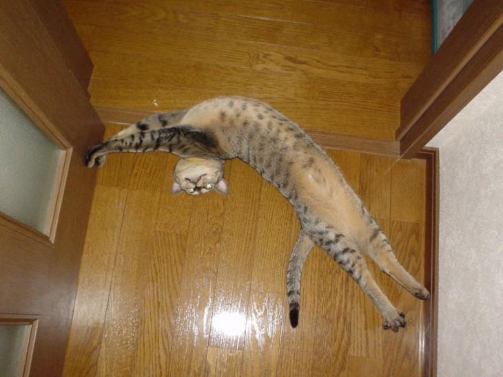 Gato tirado en el suelo de una puerta mostrando su vientre