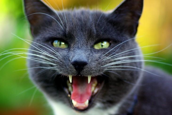 Cara deun gato maullando