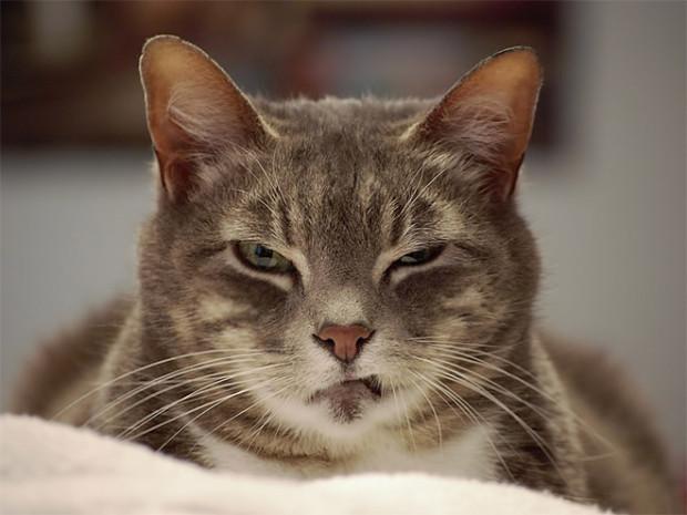 Fotografía de un gato con cara de enojado