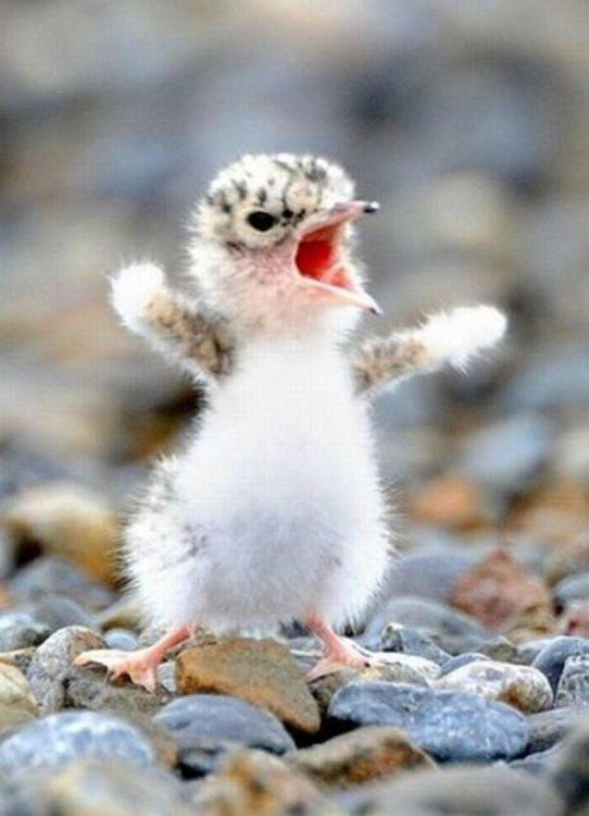 Una pequeña ave enojada simulando que grita enojada