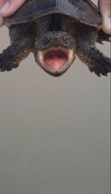 Una pequeña tortuga que simula estar gritando o enojada