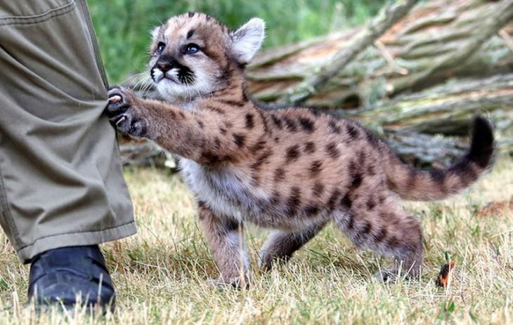 Un pequeño puma tomando a una persona de la pierna