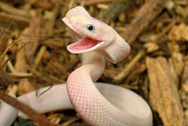 Serpiente con boca abierta que simula estar sonriendo