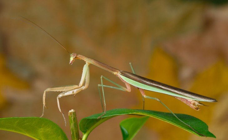 Mantis religiosa China sobre una hoja verde