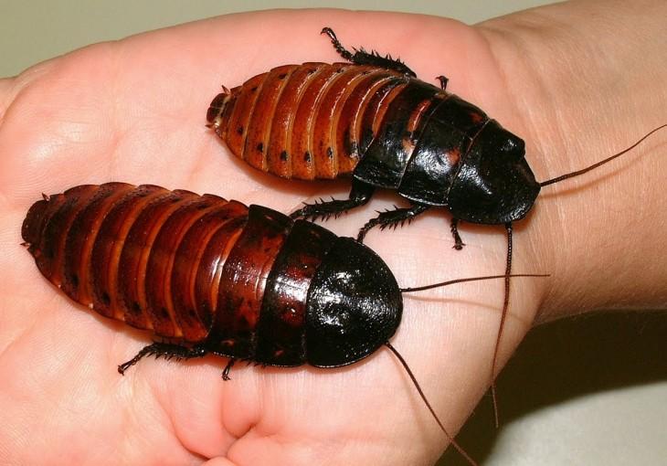 Dos cucarachas gigantes sobre la mano de una persona