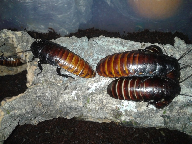 Cucarachas gigantes sobre una roca