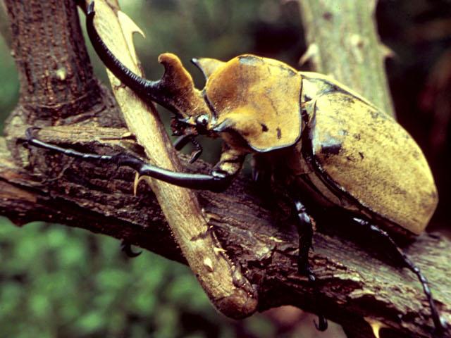 Escarabajo Elefante sobre la rama de un árbol